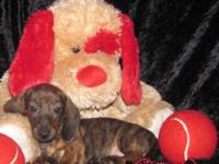 "Dachshund "" Mini "" Pups, Short Coat Male & Female, CKC"