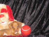 "Dachshund "" Mini "" Pups Male & Female. CKC Registered,"
