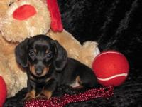 "Dachshund "" Mini "" Pups Male & Female, Short and Wire"