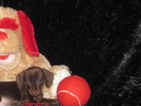 "Dachshund "" Mini "" Pups Short & Wire Coat, Male &"