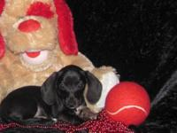 "Dachshund "" Mini "" Pups Male & Female, Short & Wire"