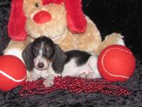 "Dachshund "" Mini "" Pups Male & Female, Wire Coat CKC"