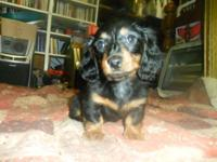 Male Miniature Dachshund Bandit Black and Tan, born
