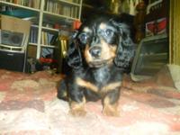 Male Miniature Dachshund Bandit Black and Tan, born