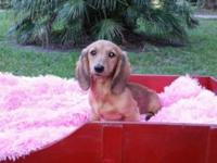 AKC Miniature long hair dachshund puppies. I have a 16