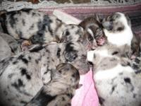 doxie cross pups all color, blk/tan silver dapples