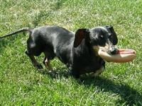 Dachshund - Moe - Small - Adult - Male - Dog Moe is a