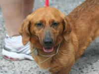 Dachshund - Momo - Medium - Adult - Female - Dog Update