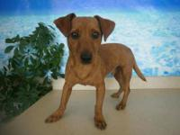 Dachshund - Monkey Joe - Small - Adult - Male - Dog