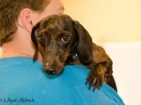 Dachshund - Mr. Wiggles - Small - Adult - Male - Dog