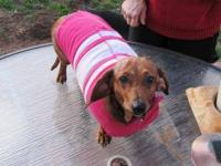 Dachshund - Mrs. Weenie - Small - Adult - Female - Dog