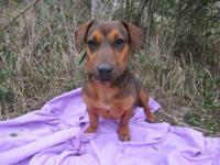Dachshund - Nadia-- Adoption Special! - Small - Adult -