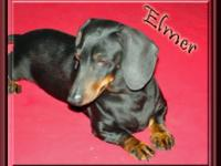 Dachshund - Nestle - Small - Adult - Male - Dog Hi