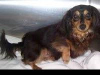 Dachshund - Newman - Small - Adult - Male - Dog This