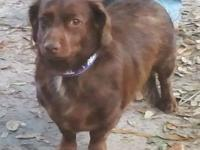 Dachshund - Olivia - Small - Adult - Female - Dog I am
