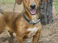 Dachshund - Oscar - Medium - Adult - Male - Dog