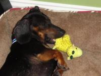 Dachshund - Oscar - Small - Baby - Male - Dog