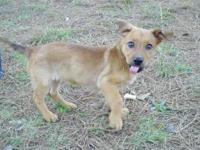 Dachshund - Otis - Small - Baby - Male - Dog Posted