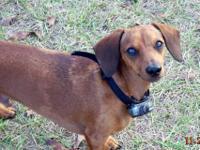 Dachshund - Peanut - Small - Adult - Male - Dog Please