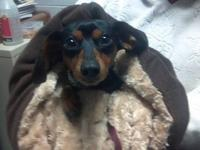 Dachshund - Peewee - Small - Adult - Male - Dog