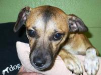 Dachshund - Penelope - Small - Young - Female - Dog