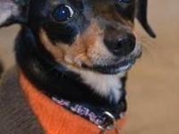 Dachshund - Penny - Small - Young - Female - Dog Penny