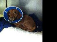 Dachshund - Pickles - Small - Adult - Male - Dog