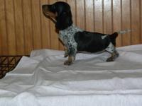 Dachshund Puppies for Sale... TWO litters available!!!