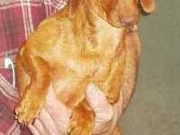 Dachshund - Pinkie & Blue - Small - Adult - Female -