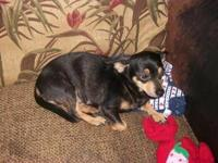 Dachshund - Poncho - Small - Young - Male - Dog