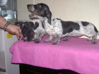 Two black piebald female Dachshunds AKC born 11/01/2014