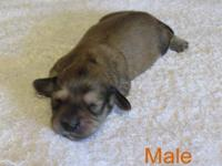 3 AKC mini longhaird dachshund puppies. 1 females and 2