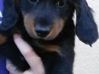 Miniature Long haired Dachshund Puppies. AKC papers and