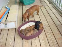 Description Black & Tan and Red male and female puppies