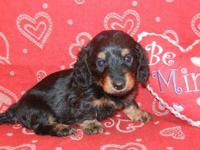 Two sweet little female Dachshund puppies need a good