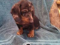 Two male and one female dachshund puppies for sale.