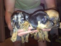 Hey guys looking for homes for two Dachshund puppies