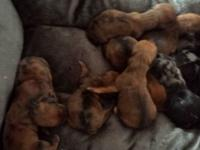 We have 10 dachshund young puppies prepared for their