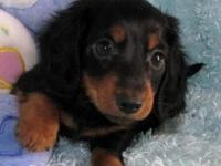 I have one longhair blk and tan female and 1 longhair