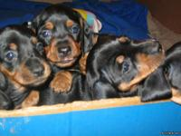 Dachshund Puppies born Nov 06 2013, Has first shots and