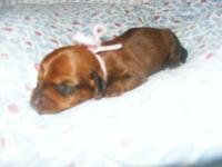I have 4 adorable purebred Dachshund puppies available.