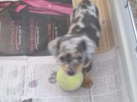DAPPLES DACHSHUNDS 8 WEEKS OLD WITH SHOTS AND DEWORMED