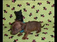 We are now taking deposits on our litter of dachshund