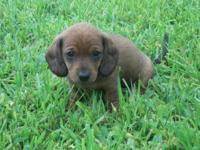 Seven super cute smooth coat dachshund puppies ready to