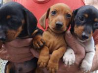 In Trinidad, CO Dachshund Puppies!!!! 2 litters, small