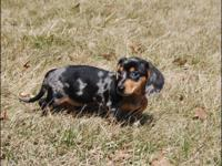Purebred Dachshund Puppies DOB 1/7/15 Ready to go now.