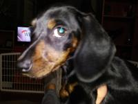 Sweet female black and tan/brindle smooth coat mini