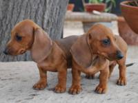 Dachshund puppy, Female,American Cream. Amazing little