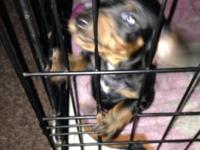 8 week old dachshund puppy for sale. Any questions feel