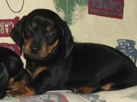 Pre-Spoiled dachshund puppy, 10 weeks old, looking for